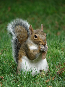 Squirrel and pest removal in New Holland PA