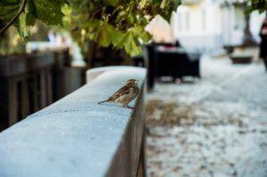 house sparrow on wall