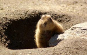 Groundhog-Removal