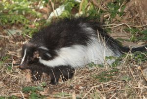 Skunk Removal & Control | Backyard Wildlife Solutions