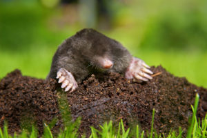 Eastern Mole on Molehill