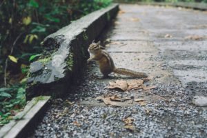 Chipmunk on gravel
