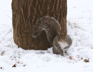 squirrel in snow by tree trunk